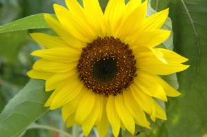 Sunflower_head